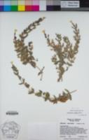 Erythranthe willisii image