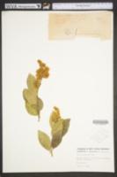 Image of Syringa reticulata