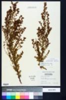 Lechea mucronata image