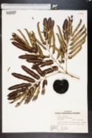 Enterolobium cyclocarpum image