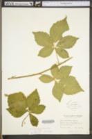 Image of Rubus multifer