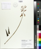 Image of Aloe rauhii
