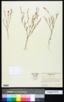 Image of Polygonum majus