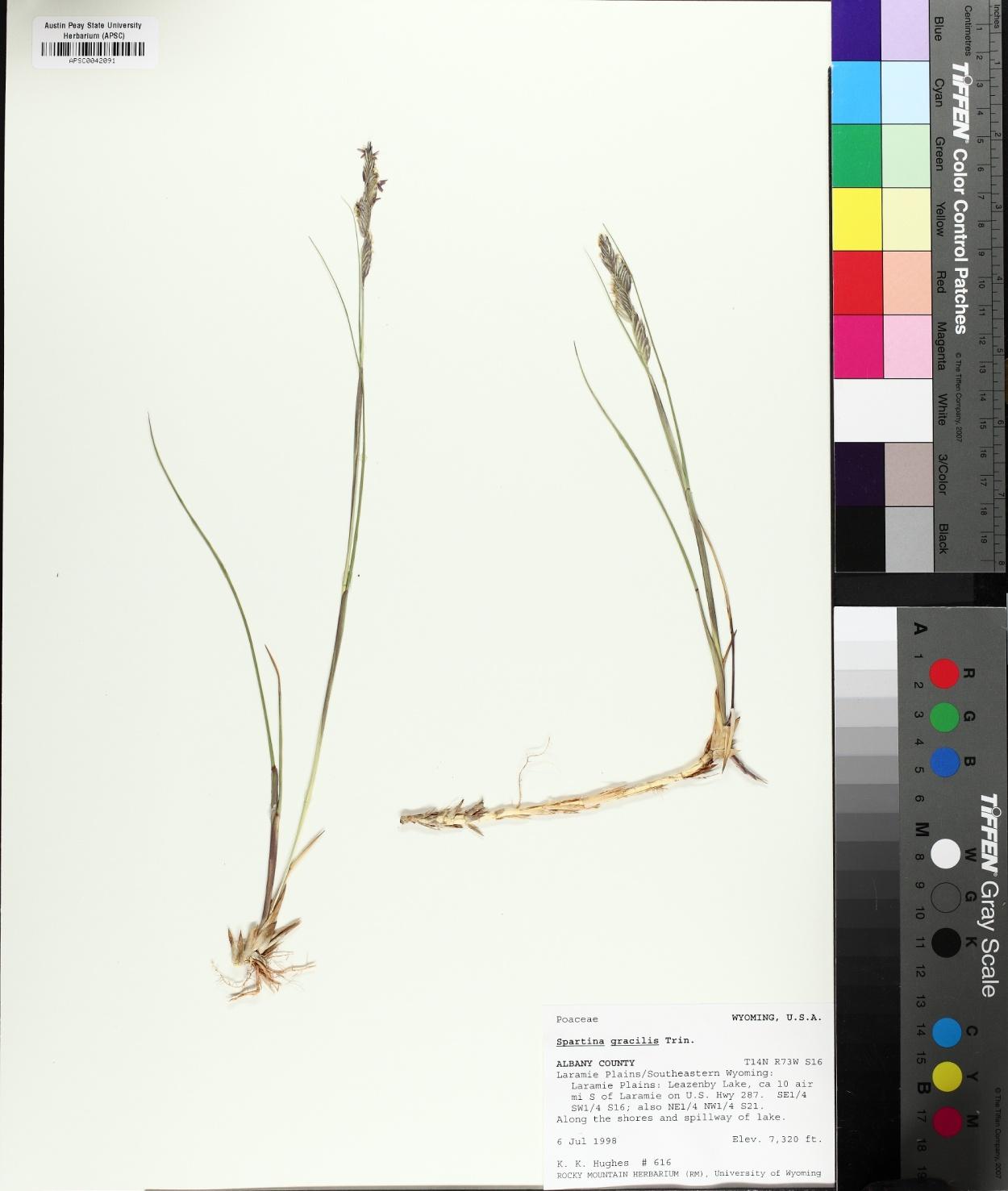 Sporobolus hookerianus image