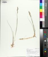Image of Sporobolus hookerianus