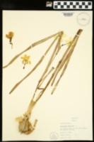 Narcissus poeticus image