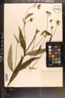 Helianthus laevigatus image