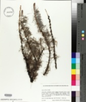 Image of Larix sibirica