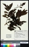 Image of Andira fraxinifolia