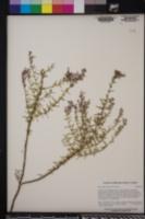 Image of Dicerandra thinicola