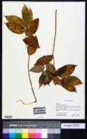 Image of Streptopus ovalis