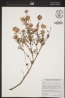 Image of Monardella undulata
