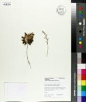 Image of Haworthia cymbiformis