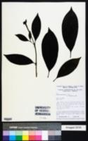 Image of Alibertia bertierifolia
