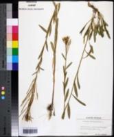 Erysimum hieracifolium image