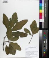 Quercus similis image