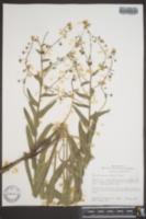 Image of Hackelia mundula