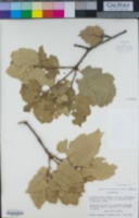 Image of Quercus chasei