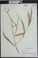 Image of Brachiaria ramosa