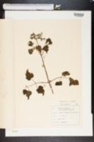 Image of Cuscuta europaea