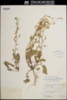 Oenothera brachycarpa image