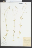 Image of Alsine graminea