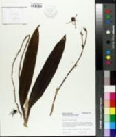 Image of Encyclia cochleata