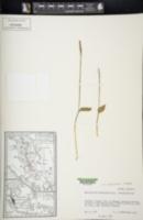 Image of Ophioglossum costatum