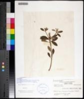 Croton humilis image