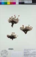 Eriogonum gracilipes image