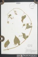 Fallopia cristata image
