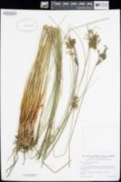 Juncus usitatus image