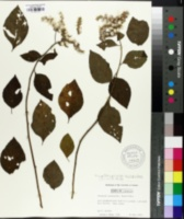 Image of Vernonia scorpioides