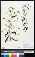 Image of Ageratinastrum polyphyllum