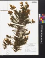 Ulex europaeus image