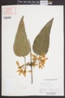 Image of Clematis armandii