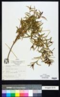 Image of Ageratum salicifolium