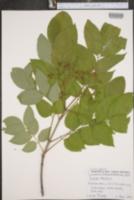 Tetradium daniellii image