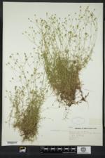 Sabulina michauxii image