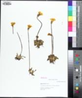 Image of Pinguicula lutea