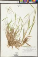 Panicum villosissimum image