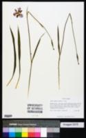 Alophia drummondii image
