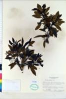 Image of Viburnum atrocyaneum