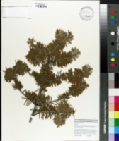 Image of Abies koreana