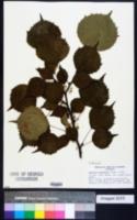 Euptelea polyandra image