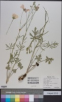 Callirhoe alcaeoides image