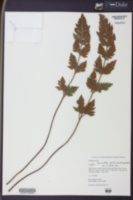 Image of Cheilanthes eckloniana