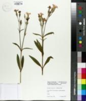 Dianthus chinensis image