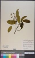 Image of Bredemeyera lucida