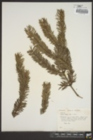 Image of Abies firma